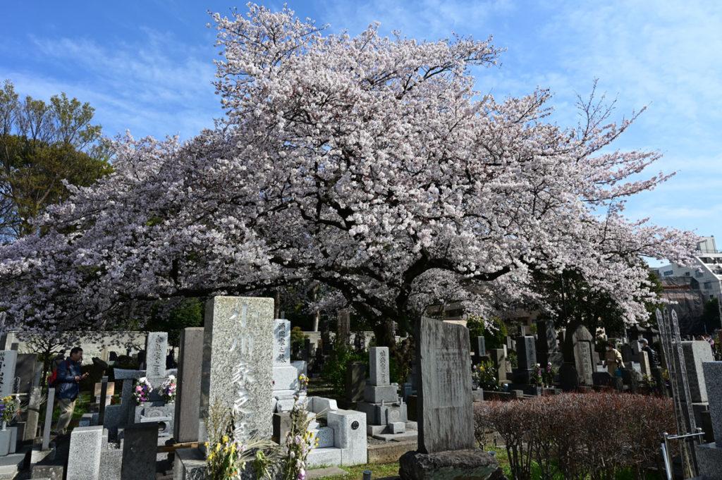 染井霊園のソメイヨシノ