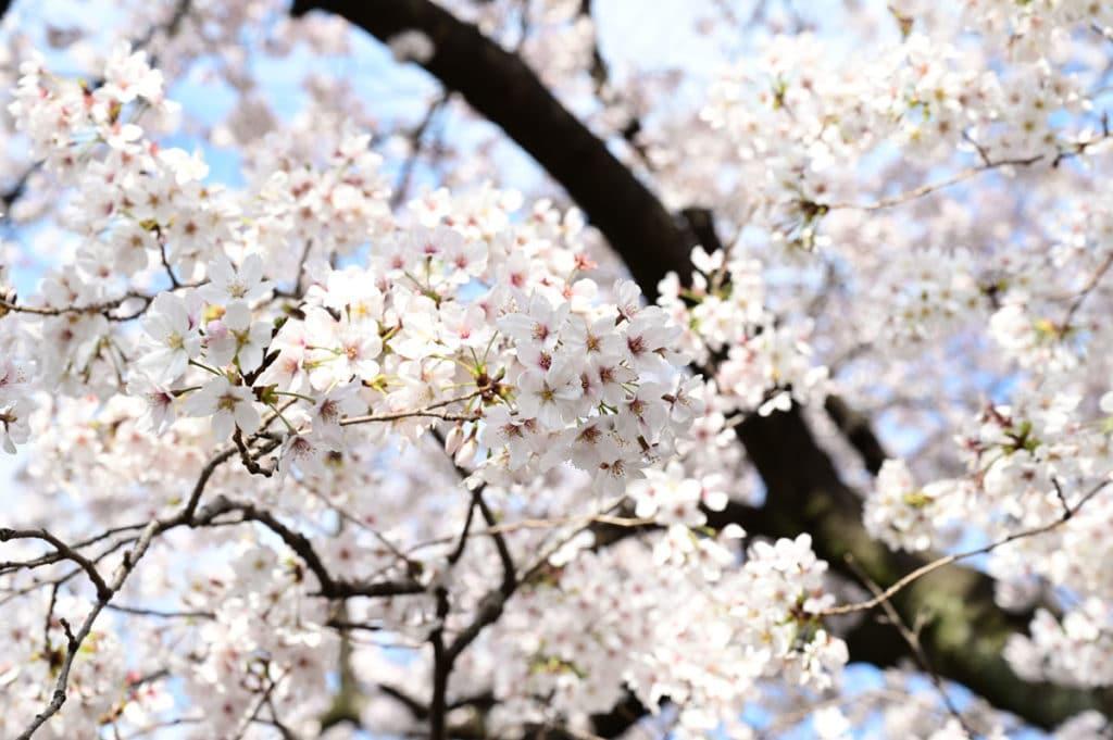 染井霊園のソメイヨシノは満開