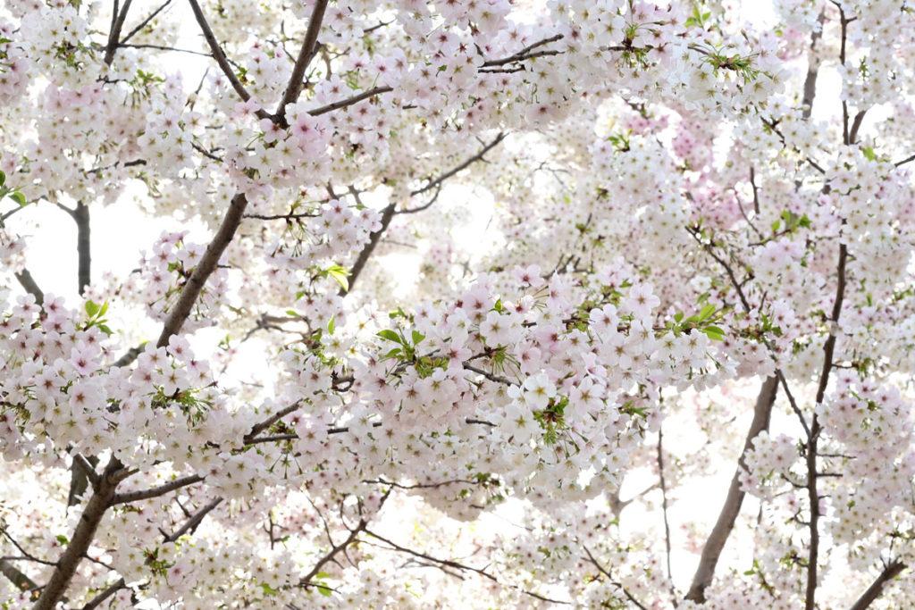 染井よしの桜の里公園のオオシマザクラ