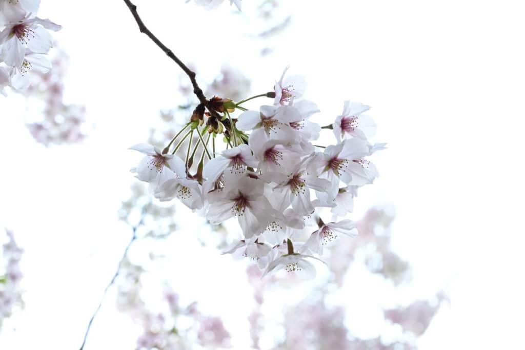 染井よしの桜の里公園のソメイヨシノ